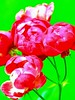 another appearance of roses (Buyung Mukawi (OFF)) Tags: flores colour art award nossas phoddastica