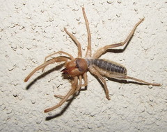 The World S Best Photos Of Solifugae And Sunspider