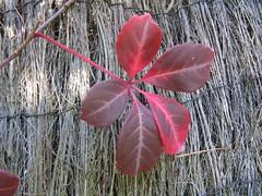 Parthenocissus henryana (wallygrom) Tags: england leaves fallcolor westsussex mygarden parthenocissus eastpreston autumncolour october2011 parthenocissushenryana mygarden2011
