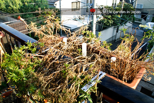 my-little-garden-in-japan-september-2011-3