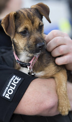 Watching from a Safe Place (Greater Manchester Police) Tags: dog training manchester police pup gmp k9 policedog britishpolice searchdog ukpolice greatermanchesterpolice unitedkingdompolice