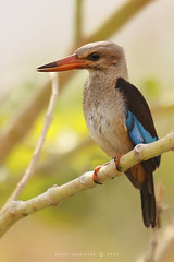 Brown Hooded Kingfisher :   (Sakhr Abdullah |   ) Tags: africa 2 brown bird birds forest canon woodland photography eos is kenya mark wildlife south halcyon southern ii kingfisher saudi arabia 5d usm congo ef savanna 70200mm hooded abdullah   20x f28l    albiventris      sakhr