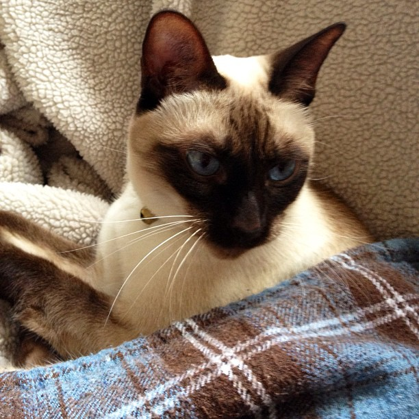 Sam the #siamese #iphone4s