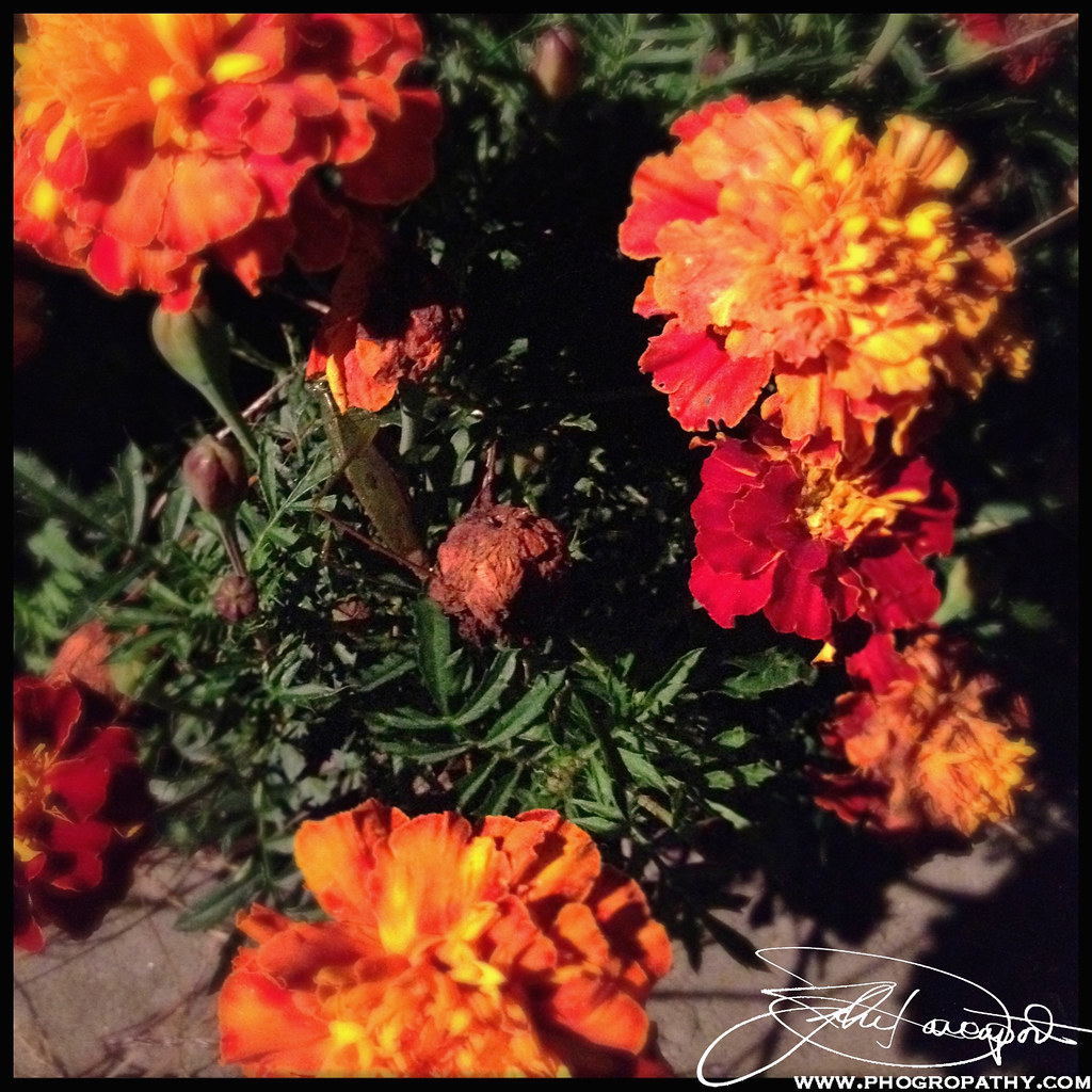 Flowers with iPhone 4S
