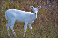 Nature - Animal - Wildlife - White White-tailed Deer (blmiers2) Tags: morning autumn red white newyork green fall nature beautiful animal animals nikon october wildlife deer whitetailed 2011 senecaarmydepot d3100 blm18 blmiers2