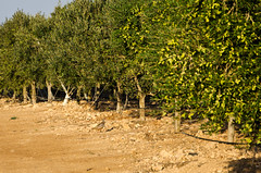 Pediz en la finca (Grupo Caparrs) Tags: cabo olive aceite oil grupo olivos olivo soldeportocarrero perdiz parquenatural caparros gatanijar orodenijar