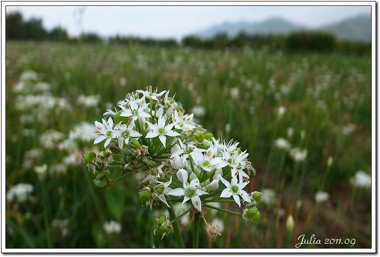 韭菜花~ (4)