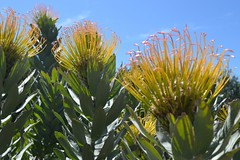 Pincushion Proteas Photo