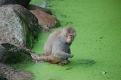 mantelbaviaan (joke.blokker) Tags: amersfoort dierenpark mantelbaviaan