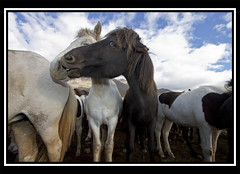 Horses (Gumundur Gubergsson) Tags: sky horses horse nature beautiful beauty face animal island caballo cheval iceland islandia crazy eyes north cavallo pferd gumundur sland rttir 1022 icelandic mummi islanda hestar hestur hnavatnsssla andlit laxrdalur norurland strttir hringeygur lislande gumundurgubergsson gubergsson hestarttir