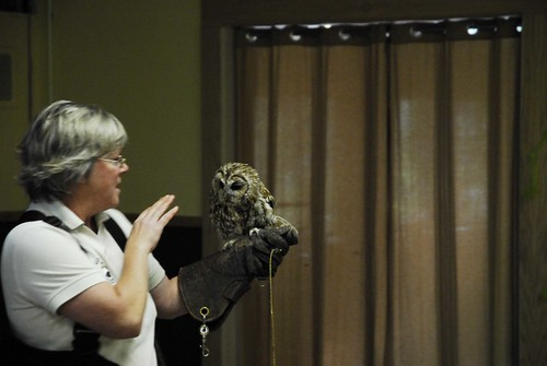 European Screech Owl