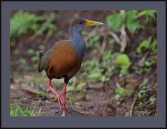 Grey-necked Wood-Rail (Aramides cajanea) -please view original (Rainbirder) Tags: costarica rincondelavieja grayneckedwoodrail aramidescajanea greyneckedwoodrail rainbirder
