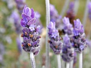 lavender_relaxationhaven.com