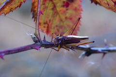 On Thinly Legs (Reg|Photography4Lyfe) Tags: bug legs bokeh critter blueeyes grasshopper thin thorn dslra700