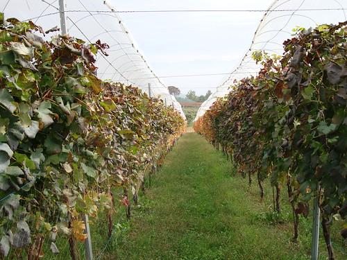 赤ワインの畑