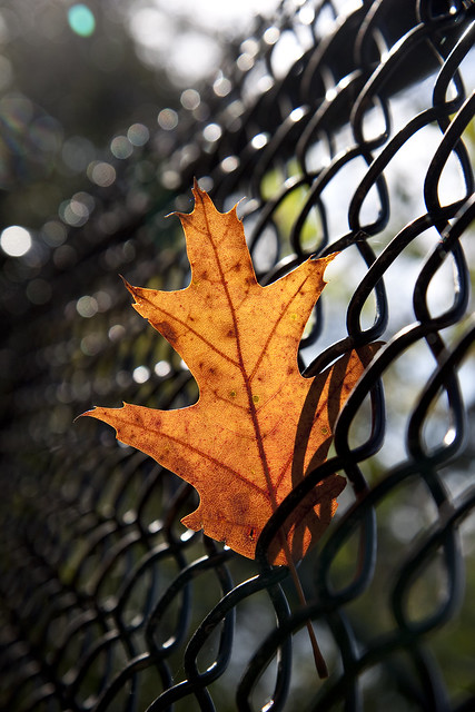 fence oak leaf