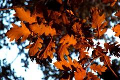 Autumn Leaves (Marius Poptamas) Tags: autumn nature leaves finepix fujifilm transylvania mures s2950