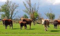 Oostvaardersplassen (Lelystad geeft lucht) Tags: flevoland lelystad oostvaardersplassen staatsbosbeheer grazers heckrunderen