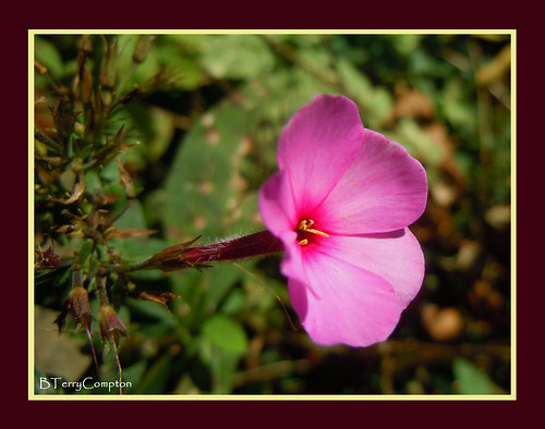 DSCN2868_1_72 - Pink Flocks Flower