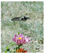 Eye on the prize... (Daisy Mai-ling) Tags: bird female hummingbird zinnia spiderplant cleome