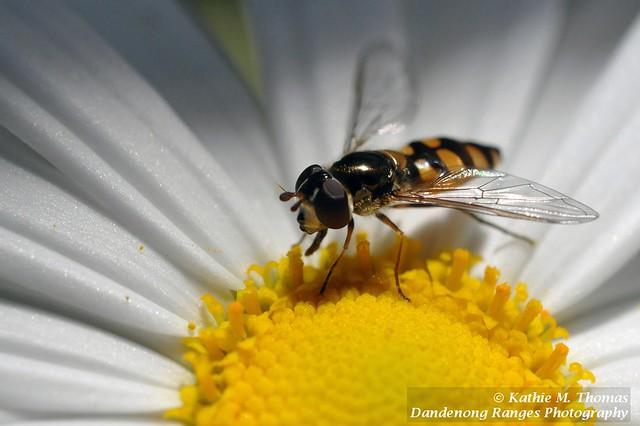 316-365 Hoverfly on daisy