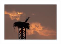 stork's nest (beppeverge) Tags: sun sunrise nest alba  sole nido stork cicogna flickrstruereflection1 flickrstruereflection2 beppeverge