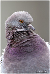 Rock Dove (2011113-2681) (Earl Reinink) Tags: travel ontario canada bird art nature birds photography landscapes nikon flickr pigeon dove canadian niagara earl bif bird nikon niagara rock photography birds nature ontario landscape fine earl peninsula flight lenses dove travel d3 d3s reinink