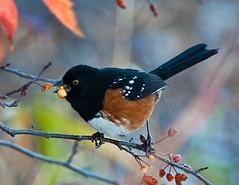 Spotted Towhee (1 of 1) (ausmc_1) Tags: nov autumn bird vancouverisland wetlands portalberni somassestuary nikon300f4 nikon17tceii