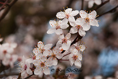 Plum Blossoms (Kirk DuBose) Tags: flower tree spring nikon blossom blossoms plum bloom d200 plums springtime plumblossom plumblossoms fruittrees 75150mmeseries