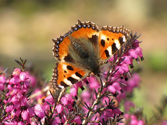 First butterfly of the year (Wilma1962*) Tags: butterfly heather ngc tortoiseshell npc erica kleinevos heide vlinder mygearandme mygearandmepremium mygearandmebronze mygearandmesilver mygearandmegold mygearandmeplatinum mygearandmediamond