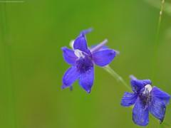 delphinium larkspur
