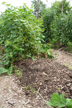 Cucumbers with new plantings of carrots, beans, & kale
