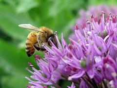 Bee on allium (Katie-Rose) Tags: uk garden bee nationaltrust allium warwickshire katierose coughtoncourt alcester goldenbee fbdg canondigitalixus95is