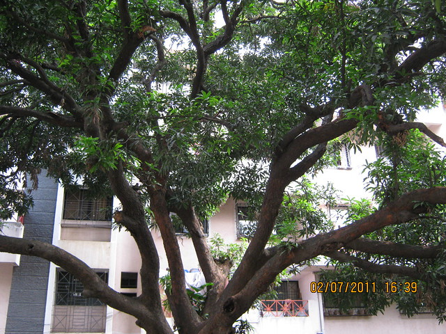 Imposing tree near Pate Developers' Kimaya, 2 BHK Flats, Suvarna Nagari, Swami Vivekanand Road, Bibwewadi, Pune 411 037