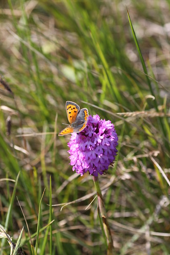 Small Copper Butterfly on Pyramid Orchid