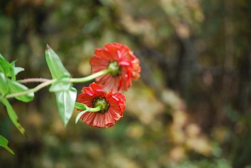 red zinnias