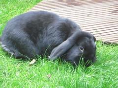 Mr Darcy (Bunningham Palace) Tags: bunnies rabbits deardiaryoctober2011