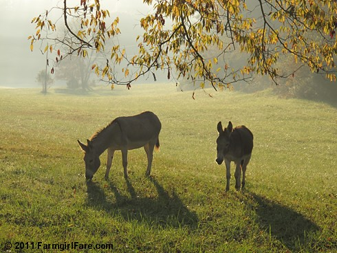 Autumn morning in Donkeyland 4 - FarmgirlFare.com