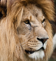 African Lion (Matt S2K) Tags: uk wild england nature animal animals cat kent feline europe unitedkingdom wildlife lion lions wildanimal hunter predator creature ashford bigcats wildanimals africanlion wildlifeheritagefoundation