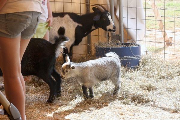 Ga Fair - Baby goat