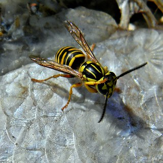 How To Safely Photograph a Southern Yellowjacket