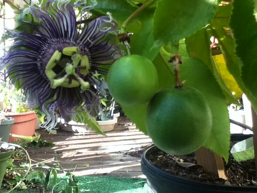 some of my passiflora - Page 2 6246912539_9cd1db6433