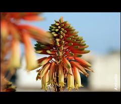 Domenica mattina...  - Sunday morning ... (Antudo) Tags: flowers our flores sony sicily alpha nossas bruno sicilia domenica a350 phoddastica antudo