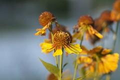 love these yellows (knitalatte11) Tags: ontario leaves yellow poppytalk autumncolorweek