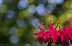 A glimpse of summer (nemi1968) Tags: flowers red flower green oslo closeup canon bokeh august botanicalgarden canoneos botaniskhage macro100mm canon60d canoneos60d