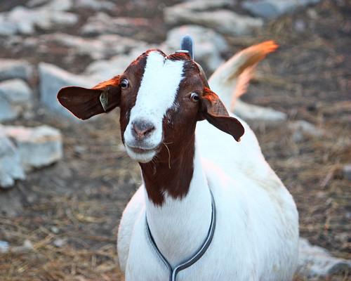 A Goat Fix