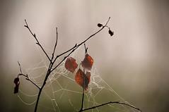 Autumn in Sweden (rogerale) Tags: autumn mist tree nature leaves spider pentax sweden web ale cobweb sverige rogerale