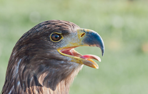 Europese buizerd - Common Buzzard by RuudMorijn Recovering from foot surgery....