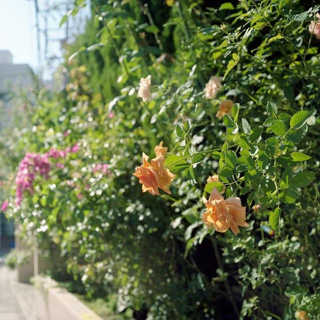 生け垣のバラ