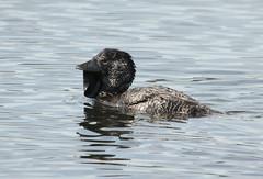 Musk Duck (boombana) Tags: duck australia nsw australianbirds 2011 muskduck biziura biziuralobata lakewallace